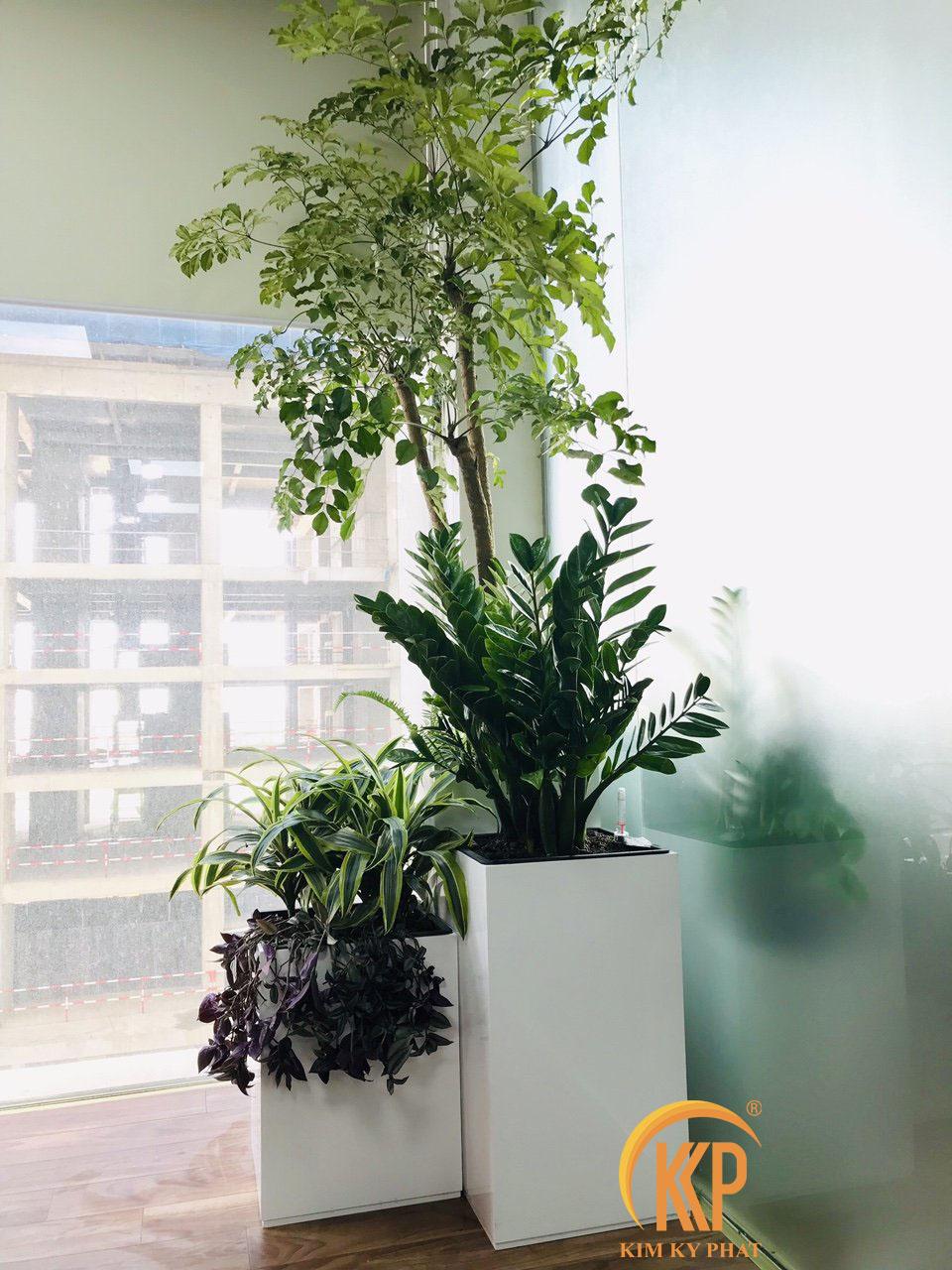 chậu cây cảnh văn phòng trồng cây composite kkp
